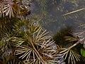 Utricularia intermedia leaf (01).JPG