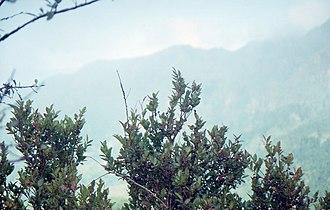 Vaccinium padifolium - Image: Vaccinium padifolium shrubs on a slope in front of a view towards São Vicente in October 1999