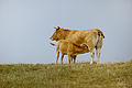 Vache de race aubrac et son veau.jpg