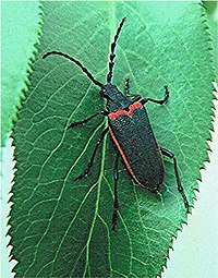 Valley elderberry longhorn beetle FWS.jpg