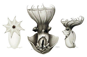 Vampire squid - Dissected adult (center) and two immature specimens