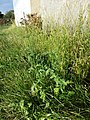 Verbena officinalis sl7.jpg