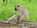 Vervet Monkey (Chlorocebus pygerythrus) male ... (51185364604).jpg