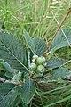 Viburnum lantana, Sambucaceae 06.jpg