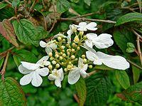 Viburnum plicatum Summer Snowflake 1