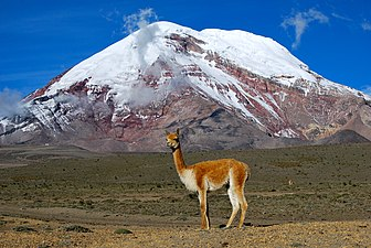 Vicu%C3%B1a - Chimborazo, Ecuador.jpg