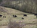 View to the river with cattle - geograph.org.uk - 1747315.jpg