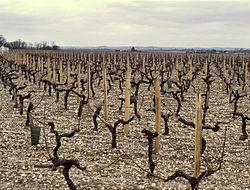 Cabernet Sauvignon vines in the Medoc