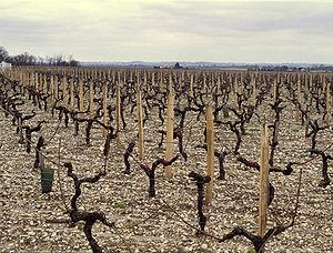 Bordeaux wine regions - Vineyard of Moulis-en-Médoc