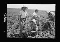 Vintage activities at Richon-le-Zion, Aug. 1939. Group of grape pickers. Yemenite girl with European immigrant girl LOC matpc.19760.jpg