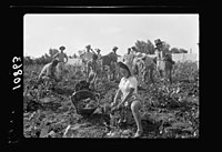 Vintage activities at Richon-le-Zion, Aug. 1939. Group of grape pickers (showing Supernumerary Police) LOC matpc.19754.jpg
