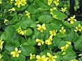 Viola glabella - Flickr - peganum.jpg