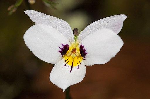 Viola ocellata - Flickr 003