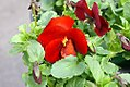Viola tricolor Delta Pure Red 2zz.jpg