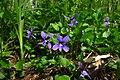 Viola uliginosa in Estonia.jpg