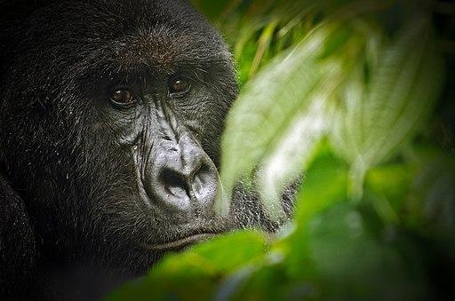Virunga National Park Gorilla