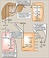 Vitamin D mechanism .jpg