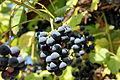Vitis (grapevines) IMG 1696 1725.jpg