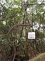 Vitis flexuosa - Miyajima Natural Botanical Garden - DSC02410.JPG