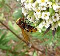 Volucella zonaria - Flickr - gailhampshire (4).jpg
