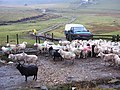 Waiting for Breakfast, Shetland - geograph.org.uk - 145366.jpg