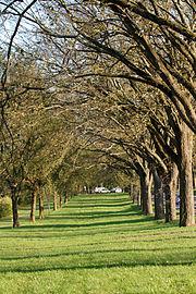 Washington Road Elm Allée (east side)
