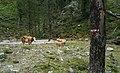 Weidevieh im Kaponigtal, Nationalpark Hohe Tauern.jpg