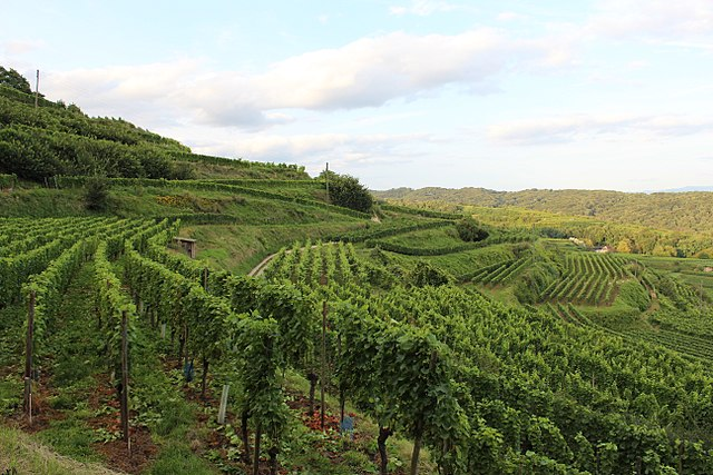 Vineyard in Ihringen