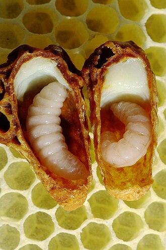 Queen bee - Older queen larvae in queen cell lying on top of wax comb