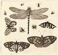 Wenceslas Hollar - A dragonfly, ladybirds, and butterflies 2.jpg