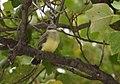 Western Kingbirds recently fledged (36987361043).jpg