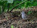 White-Crowned Sparrow (7209665526).jpg