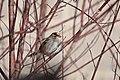 White-crowned Sparrow (31421176263).jpg