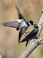 White-throated Swallow, Hirundo albigularis at Marievale Nature Reserve, Gauteng, South Africa. Sequence of two juveniles being fed on the fly by their parents. (15445502507).jpg