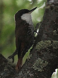White-throated treerunner species of bird