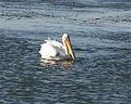 White Pelican (3037758680).jpg