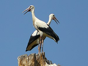 White Stork 3weeks.jpg