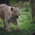 White bengal tiger.jpg
