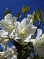 White rhododendron (3302544253).jpg