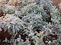 Whitish low plants.JPG