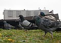 Wien Donau 2014-12-03 081 Stadttauben Stockente Anas platyrhynchos.jpg