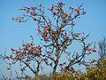 Wild Tree JAWADU HILLS Eastern Ghats South India.jpg