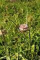 Wilde Karde Dipsacus fullonum 3231.jpg