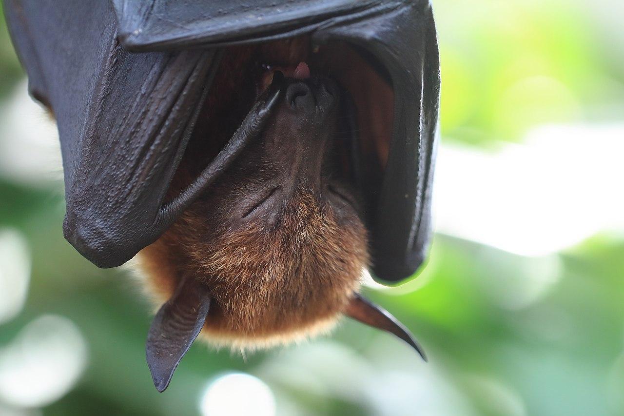 Wilhelma Kalong-Flughund Pteropus vampyrus 0521.jpg