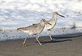 Willet, Tringa semipalmata, Moss Landing and Monterey area, California, USA. (30285181254).jpg