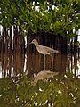 Willet - Flickr - treegrow.jpg