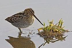 Wilsons Snipe in Richmond BC.jpg
