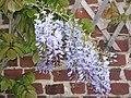Wisteria sinensis02.jpg