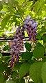 Wisteria sinensis - γλυσίνα.jpg