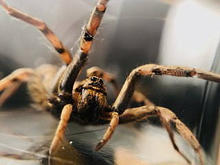 Wolf spider Family of spiders